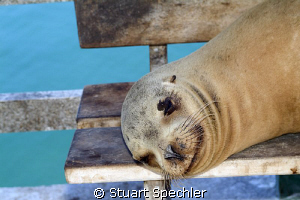 A smiling Galapagos sea lion in his natural habitat - a p... by Stuart Spechler 